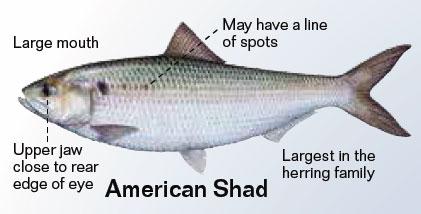 American Shad, Alosa sapidissima ~ MarineBio.org