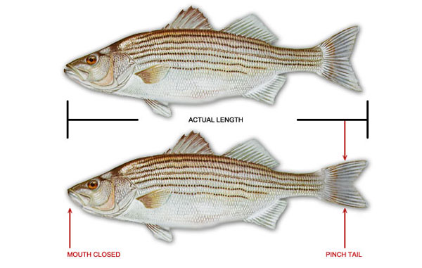How to Measure Gamefish Image