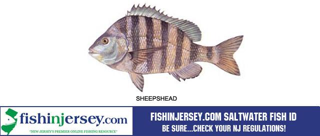 Fishing | Striped Bass | NJ Fishing | Bass Fishing ...Saltwater Sheepshead Fish Pictures